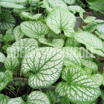 image de Brunnera macrophylla Jack Frost