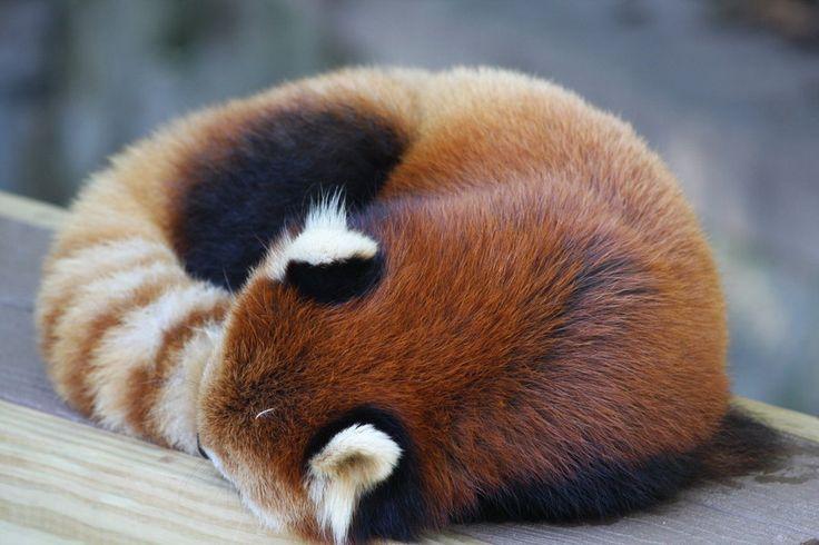 Red Panda Nation