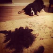 Why is my dog shedding?, dog shedding causes, what seasons do dogs shed, how to control dog shedding, how to treat dog shedding, how to care for dog shedding, what supplements are needed for dog shedding, answers to dog shedding