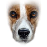 Beagle T Shirt Full Face: Available in several types of T shirts and sweatshirts, this Beagle design… #PetProducts #PetGifts #AnimalJewelry
