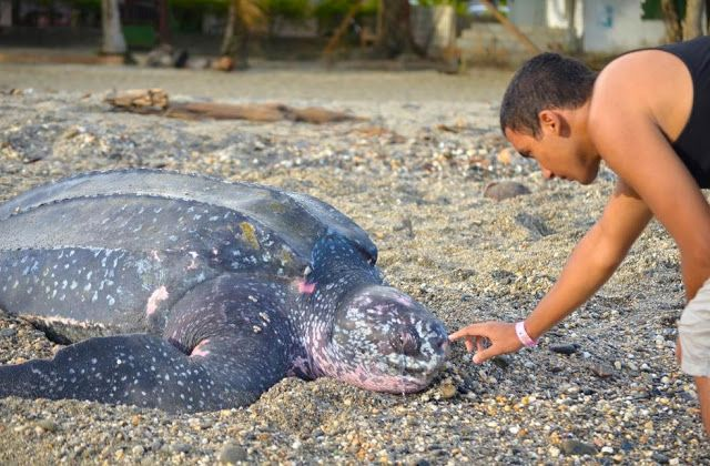 White Wolf: Elias Pereira Saves Leatherback Sea Turtle In Grande Riviere Beach, Trinidad (PHOTOS)