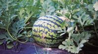 How to Prune Watermelon Vines | eHow