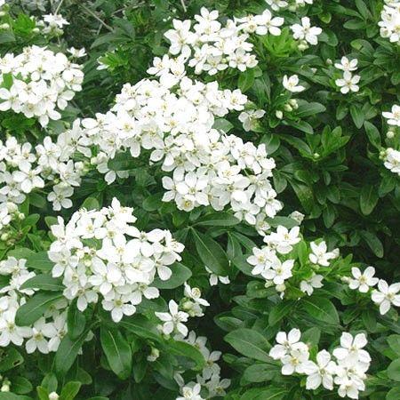 Un arbuste persistant à la floraison blanc pur délicatement parfumée. Idéal en massif.