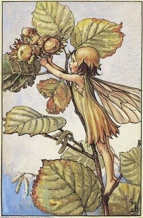 Illustration for the Hazel-Nut Fairy from Flower Fairies of the Autumn.  A girl fairy stands on a branch of a hazel-nut tree reaching out towards some hazelnuts.  										  																										Author / Illustrator  								Cicely Mary Barker