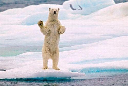 E este urso polar dando tchau.