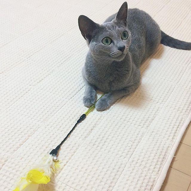 私のおもちゃ誰にも貸してあげにゃいもん😼ケチね〜💧(性格から想像したフィクションです) . . #ロシアンブルー  #猫#ねこもふ部 #さや #ねこ部 #ねこ好き  #ねこすきさんと繋がりたい  #あまえんぼ #こねこ部  #ねこカフェ#catstagram #猫のいる暮らし#cat#cute #baby  #にゃんこ #にゃんすたぐらむ  #にゃんだふるらいふ #愛猫 #キャット#beautiful #lovecat #私のおもちゃ  #russianblue#お気に入り