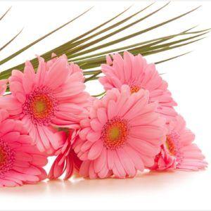 Pink Gerbera Flower Wallpaper HD | gerbera flower wallpaper hd