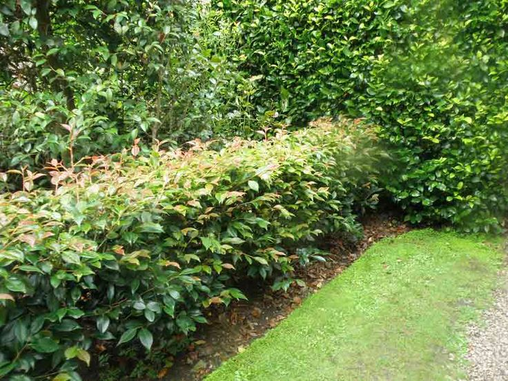 Photinia hedge