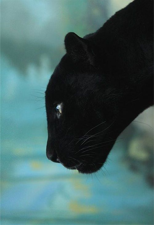 Black panther...simply gorgeous in the midnight black coat of fur matched beautifully with those ethereal golden eyes.
