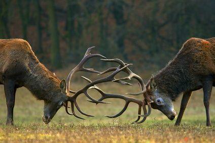 Combat de cerfs pendant le brame - Forêt de Rambouillet