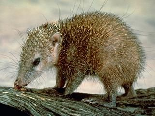 The Tenrecidae (common name tenrecs) are a family of 34 species of mammals found on Madagascar and in parts of the African mainland. Tenrecs are widely diverse; as a result of convergent evolution, they resemble hedgehogs, shrews, opossums, mice and even otters. They occupy aquatic, arboreal, terrestrial and fossorial environments. Some of these species, including the greater hedgehog tenrec, can be found in the Madagascar dry deciduous forests.