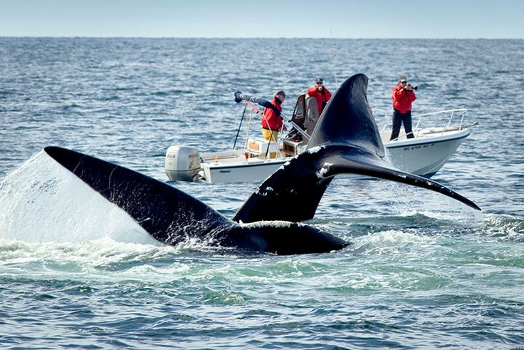 Researchers think injuries North Atlantic right whales suffer from fishing…