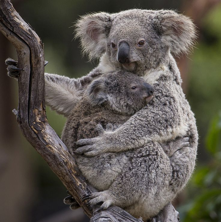 A nine-month-old koala joey underwent a routine health check earlier today at the San Diego Zoo. The male joey, yet to be named, was brought down from the perching structure he shared with his mother and placed on a scale for his weekly weigh-in. Watch the video: https://youtu.be/i1V8Rt5sq4A