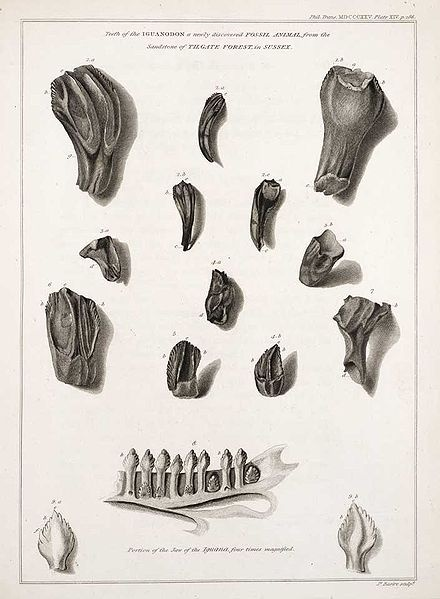 Mary Ann's pen and ink drawings of the iguanodon teeth she discovered in road rubble, including an iguana jaw for comparison