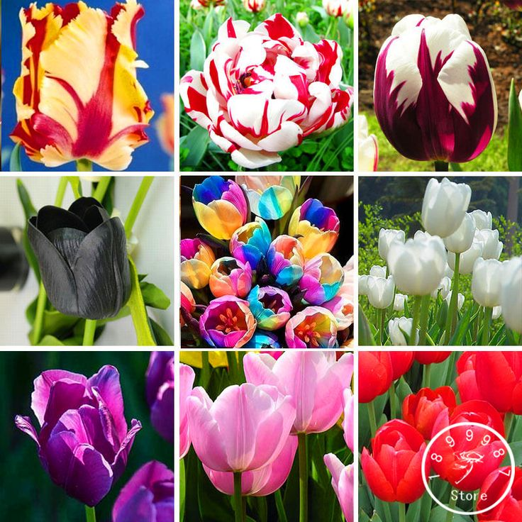 200 pcs/pack Netherland tulip seeds,19 color tulip flower seed bonsai potted plants,purify the air,ball for farm plant,#60FD50