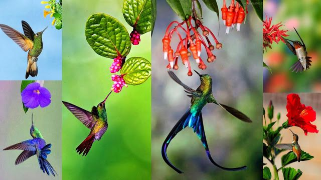 Hummingbirds, owner of largest brain & heart probing their meal in flowers