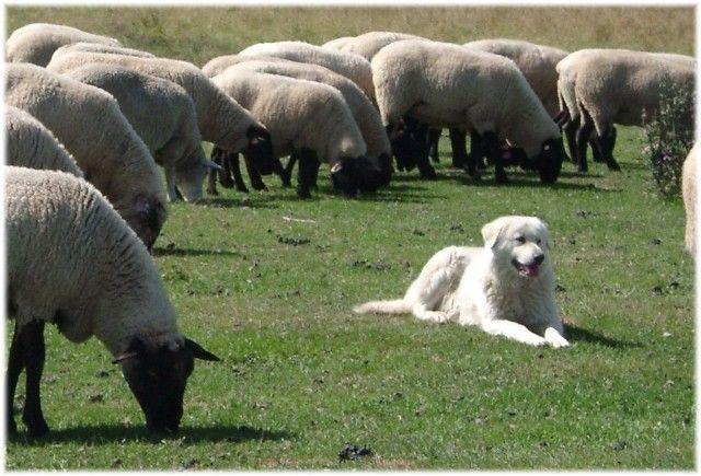 Best Dog Breeds For Hobby Farm