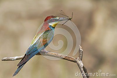 European Merops apiaster- Bee eater with dragonfly