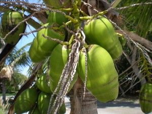 Edible Palms: an introduction to Palm Fruits