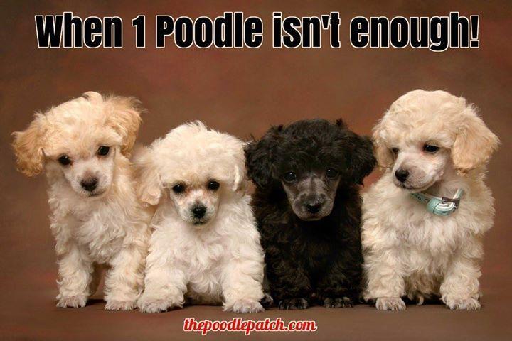 WHEN 1 POODLE ISNT ENOUGH!!!