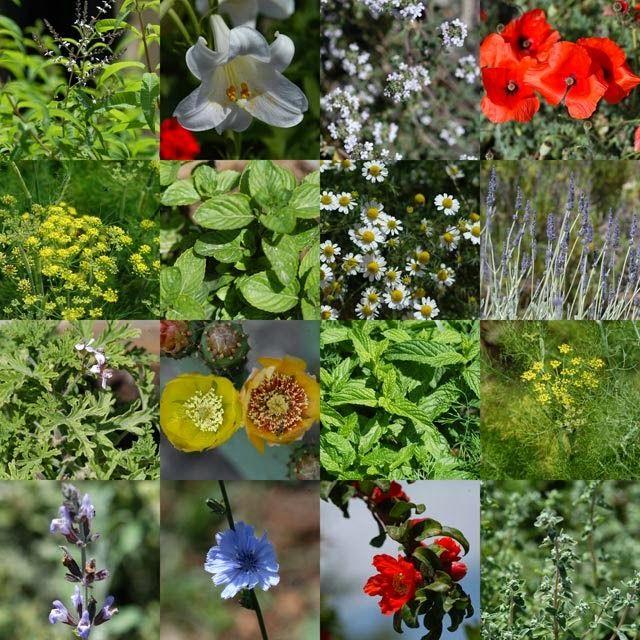 Cosmetice naturale handmade: Proprietăţile cosmetice ale plantelor medicinale