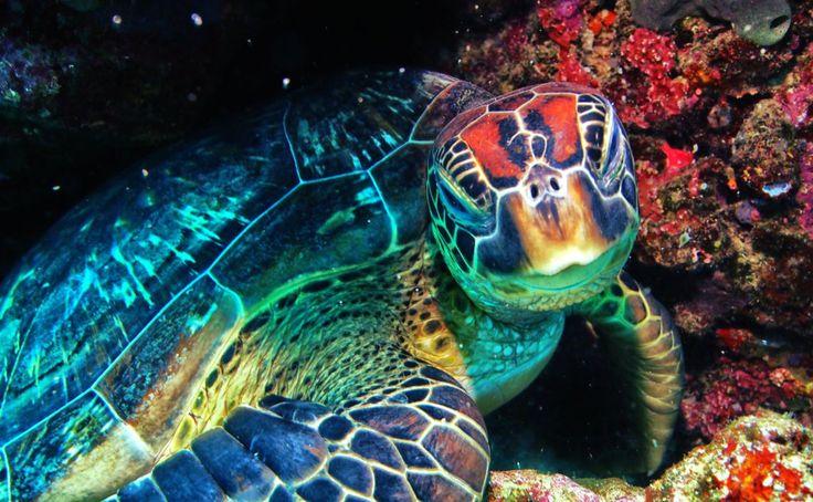 Sea Turtle - Bunaken Indonesia by Bonfire1969.deviantart.com on @DeviantArt