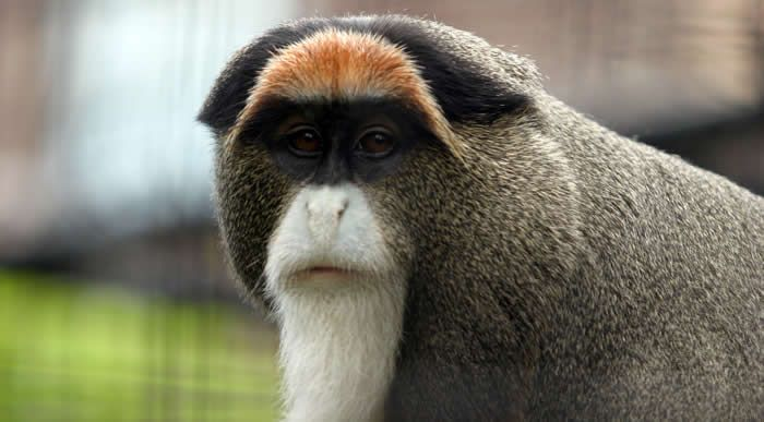 De Brazza's Monkey (Cercopithecus neglectus) is an Old World monkey that was named by French explorer Pierre Savorgnan de Brazza. Description from xamobox.blogspot.com. I searched for this on bing.com/images