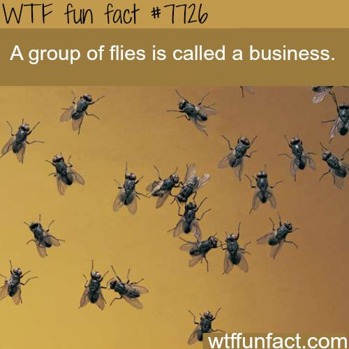 Group of flies - WTF fun facts