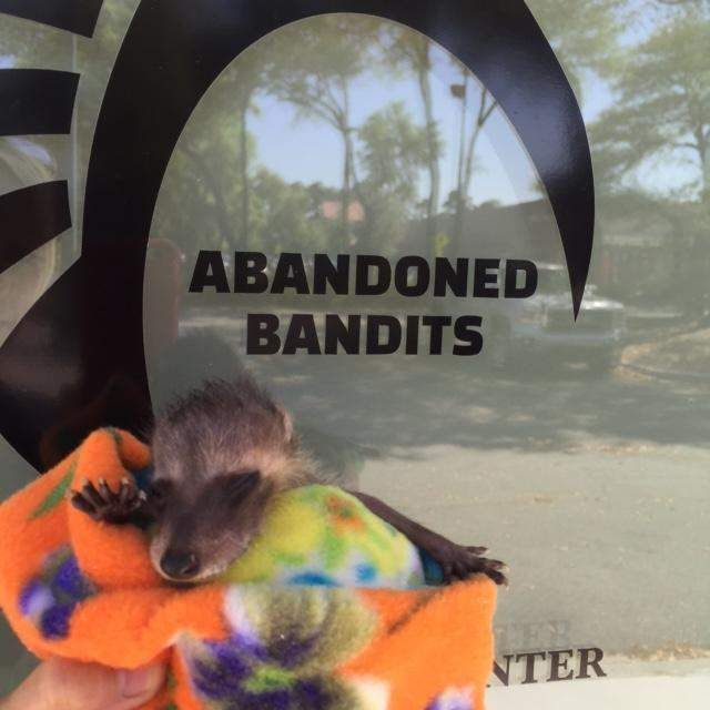 Cab Driver Rescues Tiny Baby Raccoon From Noisy Bar