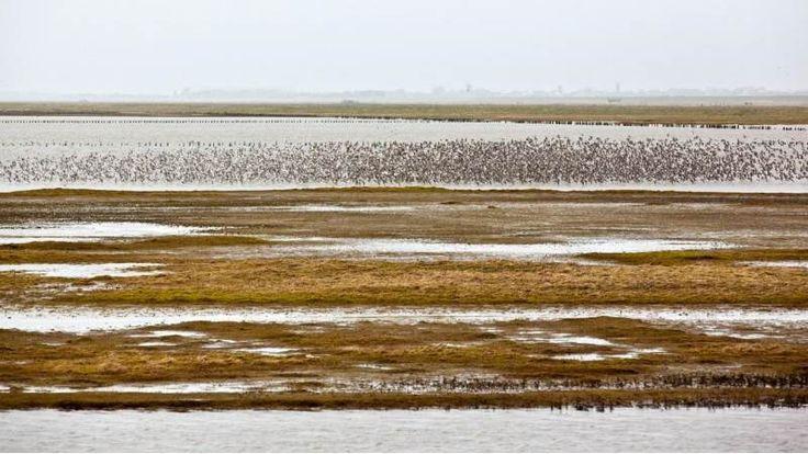 Rylerne finder sammen i flokke på op til 100.000 fugle ad gangen. Det beskytter dem mod angreb fra rovfugle. (Foto: Martin Kunzendorf © dr)