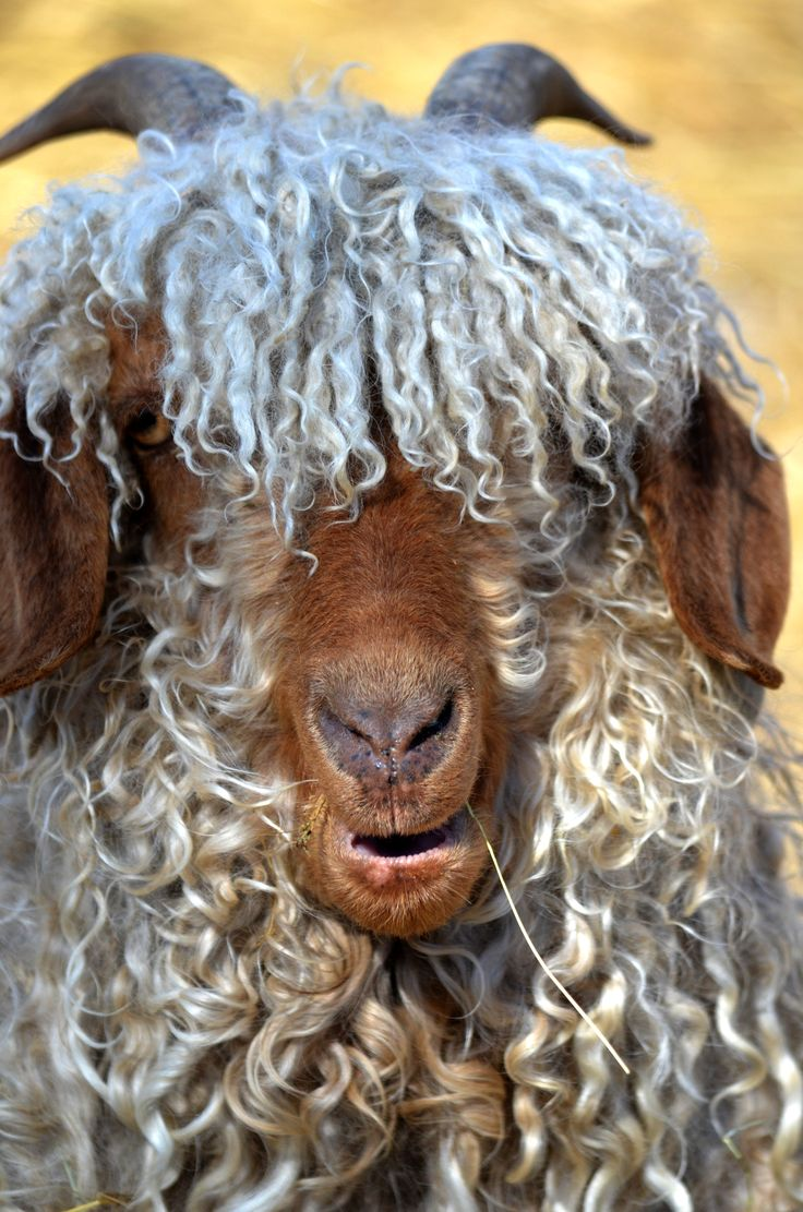 Angora Goat, a very great and woolly beast! Looove all things angora, just had no idea this is what it all looked like!