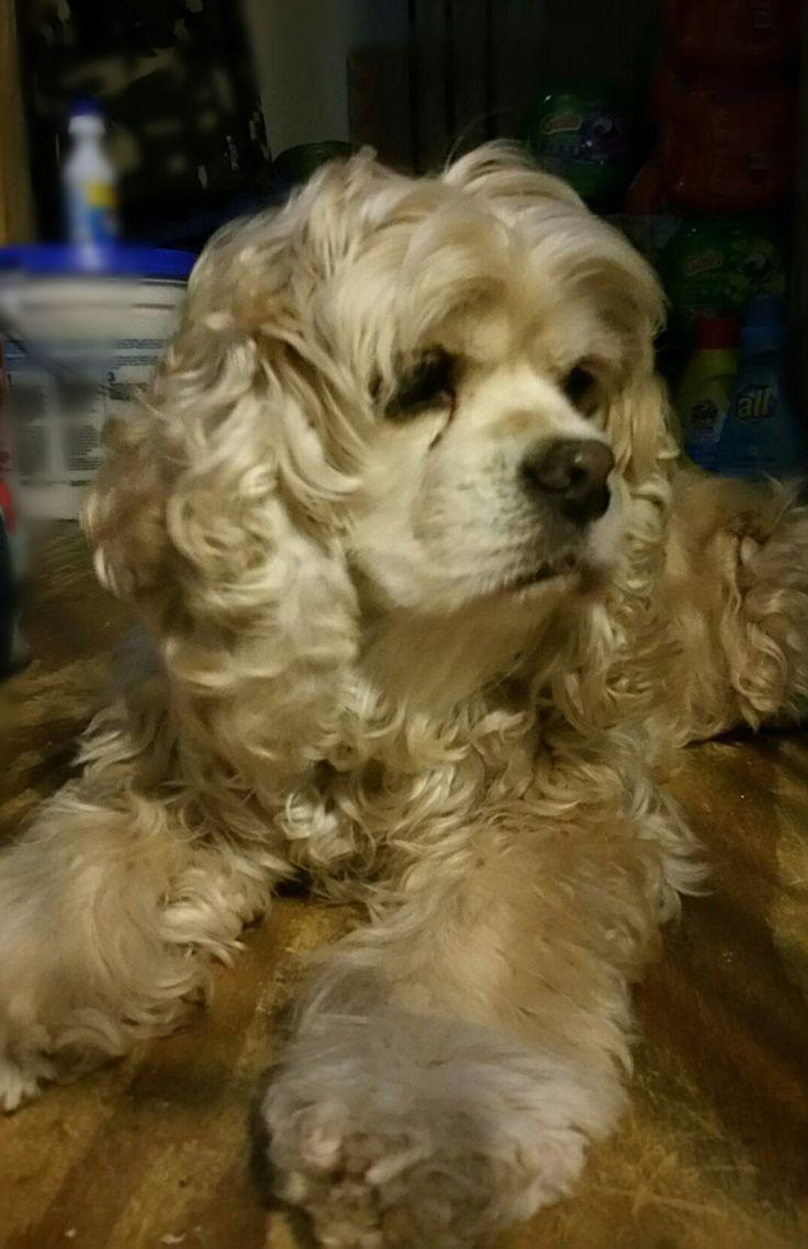 Cocker Spaniel dog for Adoption in FAIRLAWN, OH. ADN-712564 on PuppyFinder.com Gender: Female. Age: Senior