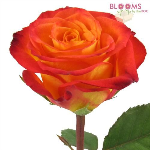 Wholesale Rose Circus Yellow / Red tips 40cm - Blooms by the Box