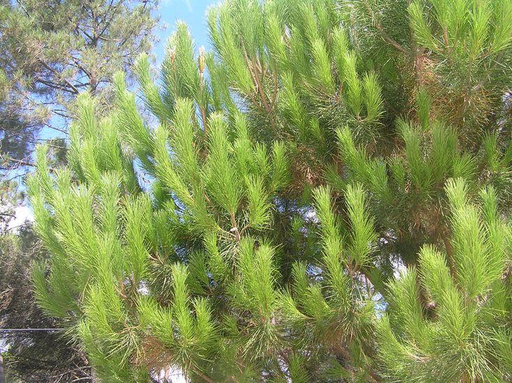 pinheiro-manso folhas