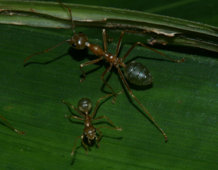 Green ants (Oecophylla smaragdina): major and minor