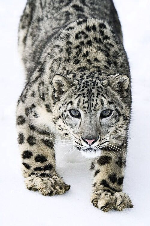 I LOVE Snow Leopards!!!                                                                                                                                                      More