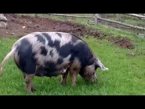 Fixardag på Östarp med griskultingar - Kulturen