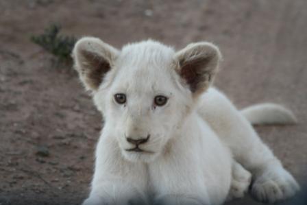 white baby lion so pretty