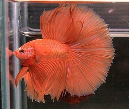 Here a long list types of bettafish in the world. #Bettafish #Typesofbettafish