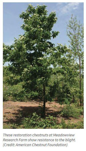 Garden Bite  » Blog Archive   » The American Chestnut