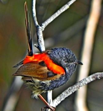 Red-backed wren. Story Walking, Queensland. Image Rosalie Hall
