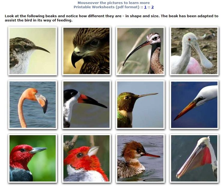 Bird Beak Adaptation with PDF printables