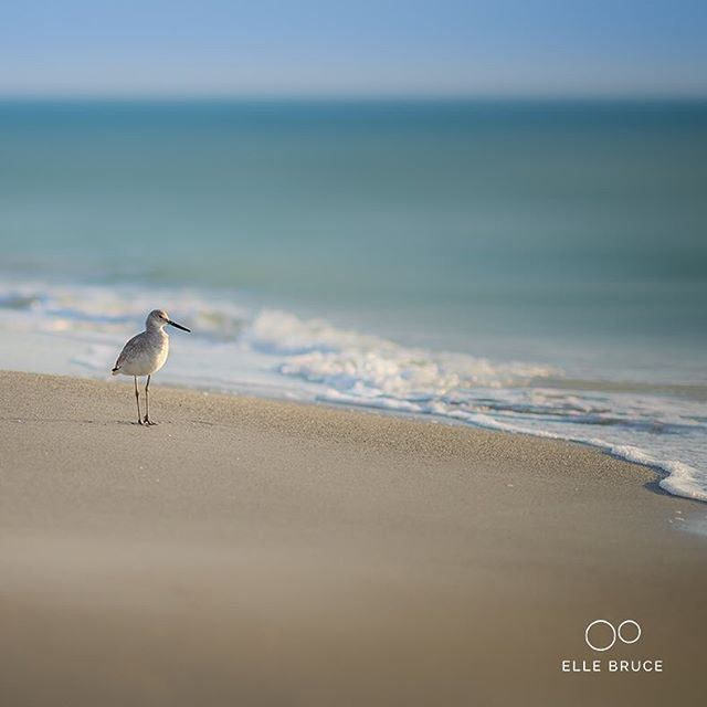 FOUND BEAUTY... alone at the beach. . . . . .  #foundbeauty #florida #beach #bird #nature #surf  #birdsofinstagram #animalsmood #beautiful #wildlifeplanet #fantastic_earth #birdwatching #bestbirdshots #birdstagram  #birding #sonyimages #sonyalpha #sonyalphasclub #sonyphotogallery