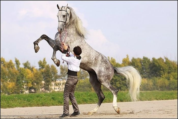 The Orlov Trotter. A horse breed with a hereditary fast trot, noted for its outstanding speed and stamina. The breed was developed in Russia in the late 18th century by Count Alexei Orlov at his Khrenovskoy Stud farm near the town of Bobrov (Voronezh guberniya) . The Orlovs emerged as the result of crossing various European mares (primarily of English, Dutch, Mecklenburg, and Danish breeding) with Arabian stallions.
