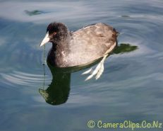 Young Australian Coot