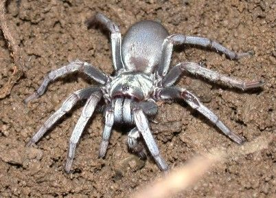 "beautiful silver Callisoga ""I can't believe it's not a tarantula!""  Often mistaken for a tarantula, Calisoga  is smaller and unable to climb smooth surfaces."