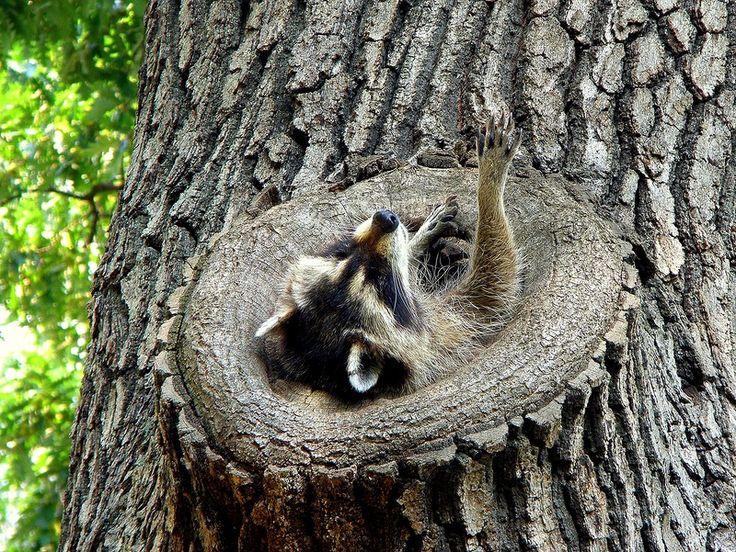 Енот-полоскун (фото): Любопытный зверек-непоседа
