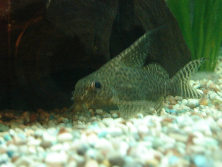 African featherfin squeakers a very useful and helpful for Bottom feeders fish