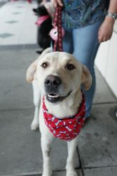 Sweetie is an adoptable Yellow Labrador Retriever Dog in Atlanta, GA. The transporter picked up the pretty yellow lab at the shelter. The dog rode quietly in the back of the car not knowing if this wa...
