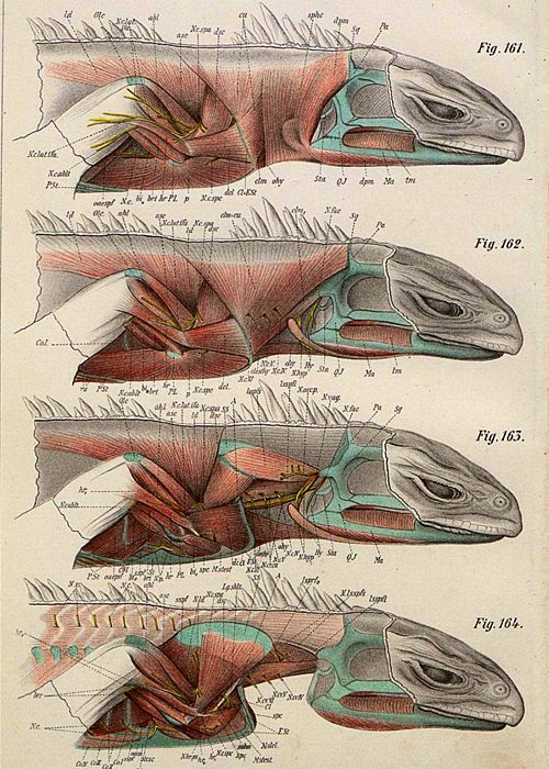 214 best Anatomy. Reptile images on Pinterest